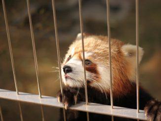 徳山動物園-檻の外を見るレッサーパンダ