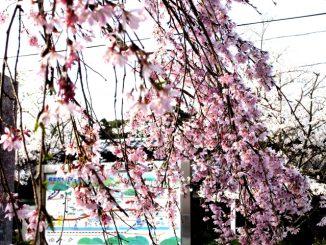岩出市-根来寺の枝垂れ桜