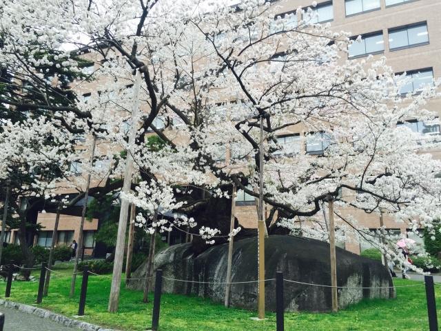(盛岡)石割桜