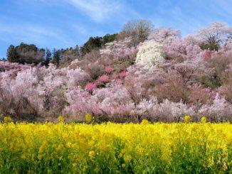 (福島市)花見山公園-花見山