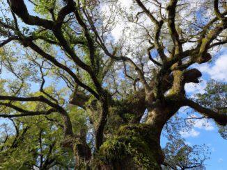 (姶良市)蒲生-巨木3縦位置(日本一の巨樹 蒲生の大クス)
