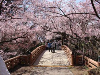 伊那市-高遠城址公園の桜