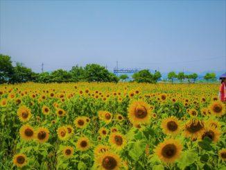 小野市-(ひまわりの丘公園)ひまわり02