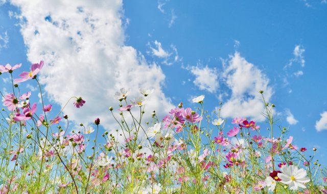 (和泉市-和泉リサイクル環境公園)コスモス-満開のコスモス