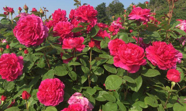 (泉南市)花咲きファーム デビッド・オースチン・ロージズ-バラ園4