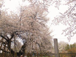 北本市-石戸蒲桜
