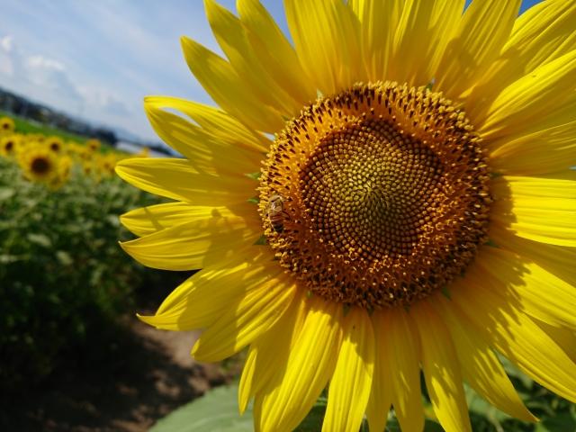 北杜市-(明野地区)向日葵とミツバチ