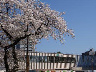 国立市-桜と国立駅