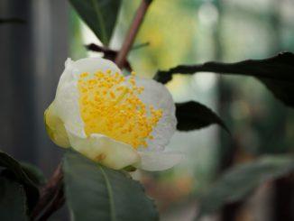 (入間市-市の花:茶の花)お茶の花
