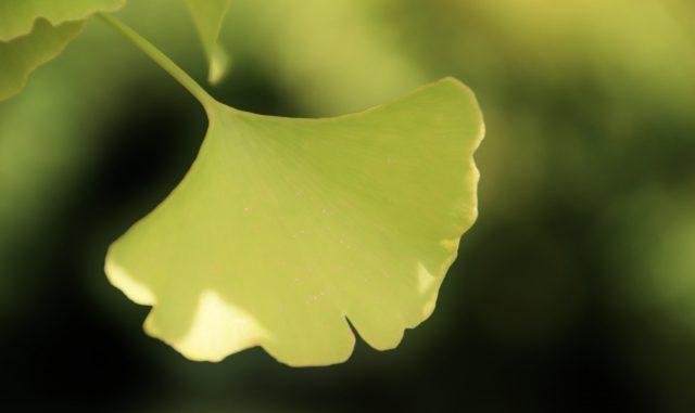 (和光市-市の木・いちょう)銀杏の葉