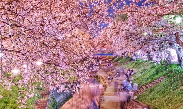 大和高田市-(大中公園)大和の桜
