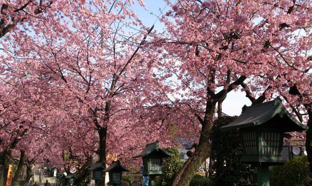 川口市-(密蔵院)埼玉県川口市安行桜