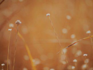 (尾張旭市-吉賀池湿地)白玉干し草