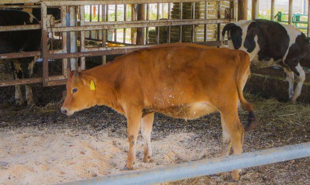 日進市-愛知牧場の牛舎のジャージー牛