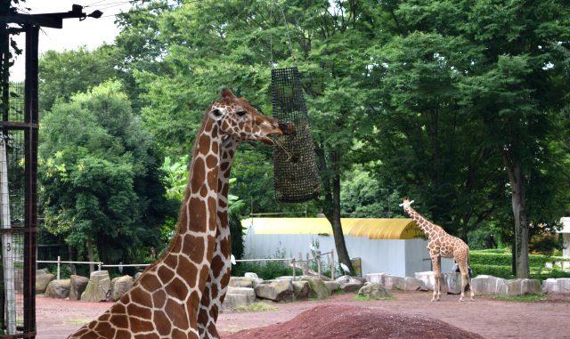 日野市-多摩動物公園 草を食べるキリン