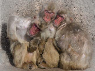 (桐生市)桐生が岡動物園-寄り添う日本猿
