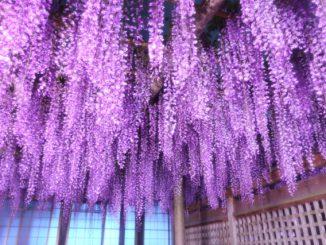 磐田市-(熊野の長藤まつり)美しい長藤ライトアップ