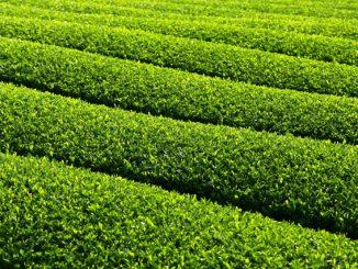 菊川市-美しい茶畑_日本茶(菊川茶)