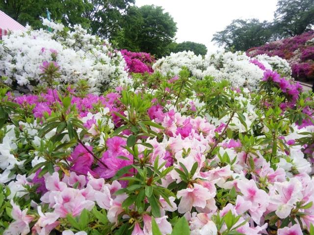 鯖江市-(西山公園)ツツジの咲く公園