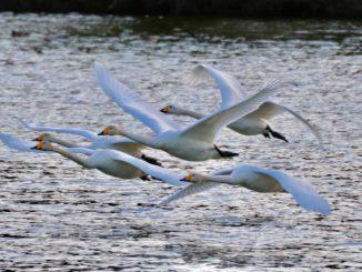 (那珂市-白鳥飛来スポットイメージ)白鳥-飛び立ち