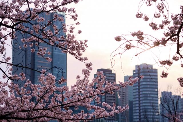 青山ー早朝の青山霊園の桜2