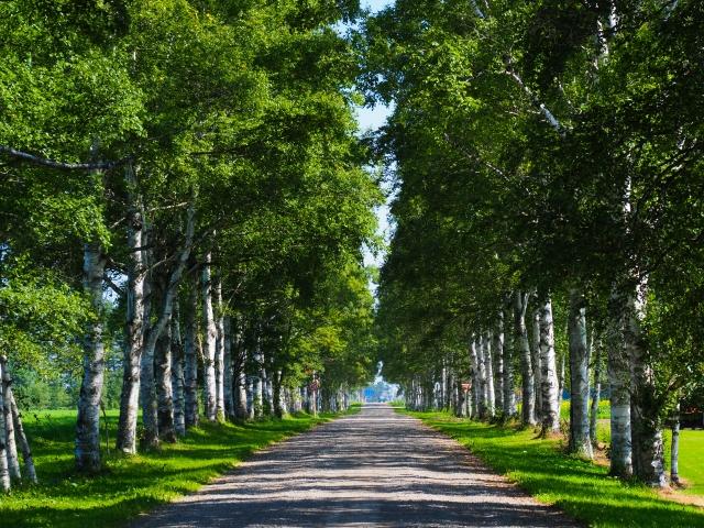 音更-白樺の並木道