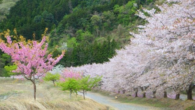 中央市-(山の神千本桜イメージ)千本桜-桜