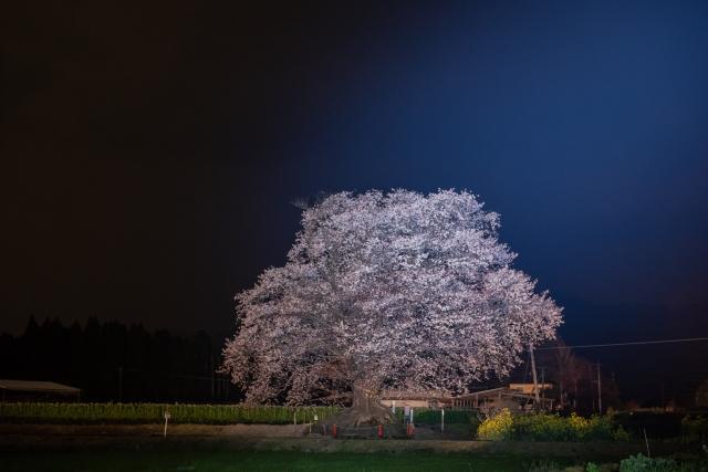 国富町‐ 一本桜