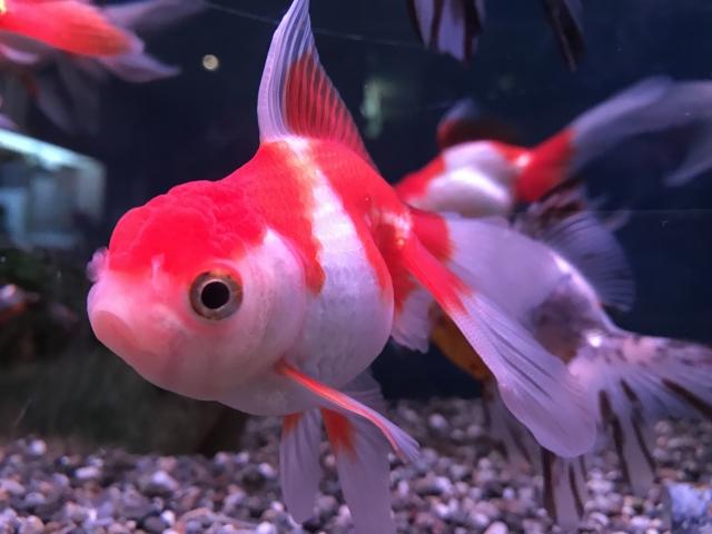 (弥富市)弥富金魚‐金魚(イメージ)