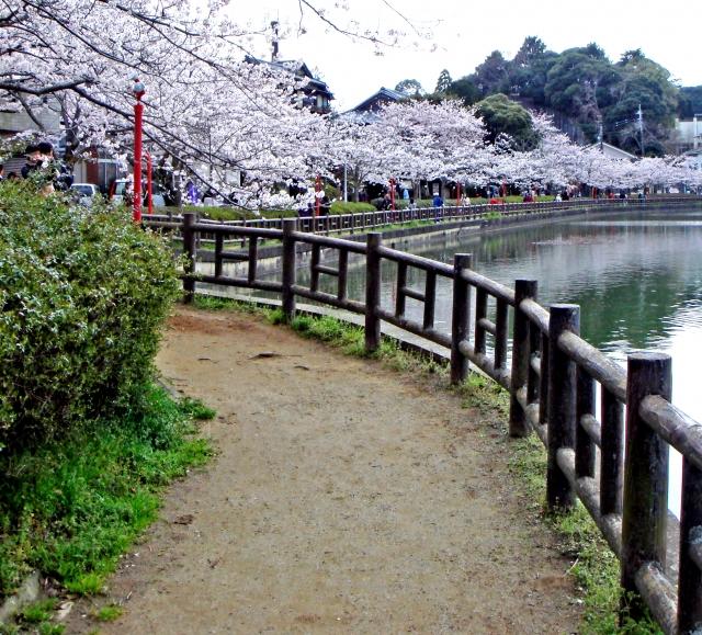(東金市)八鶴湖‐お花見(桜)