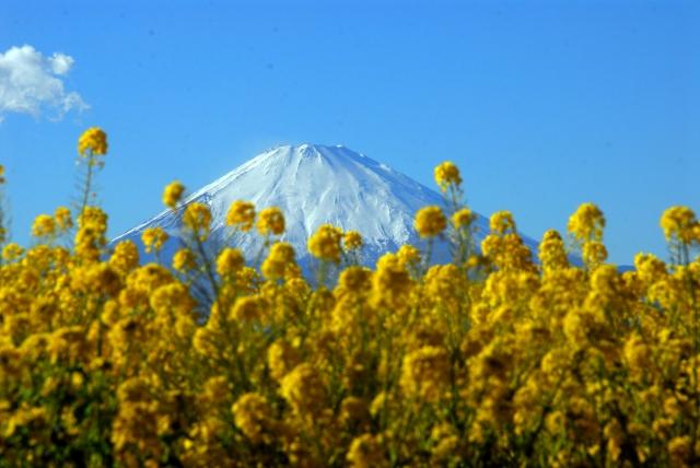 二宮町‐菜の花に富士がこんにちは
