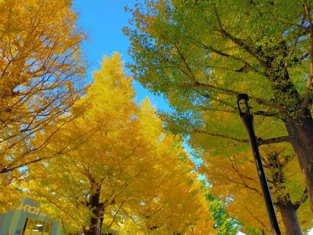 昭島市‐黄葉のイチョウ並木(昭島市)
