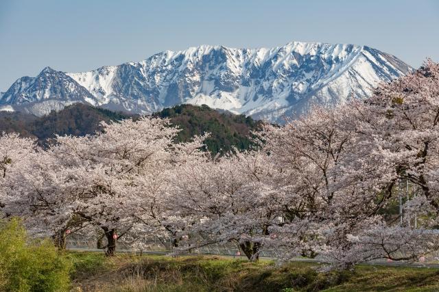 米子-大山と桜