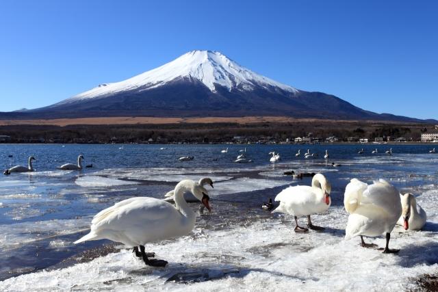 山中湖-山中湖-白鳥