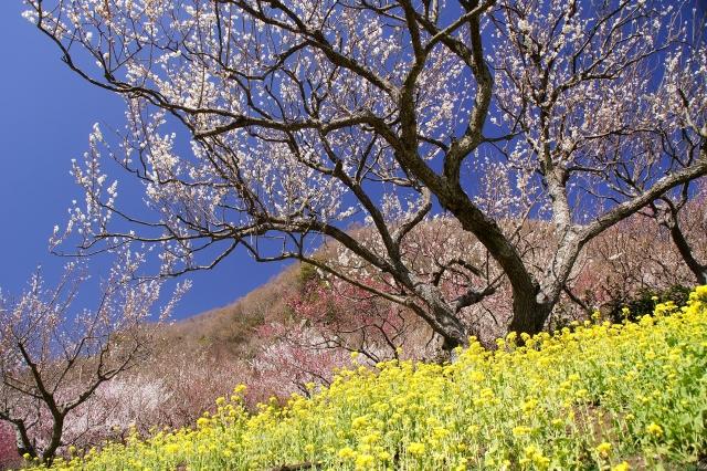 湯河原-梅の花-131(幕山公園)